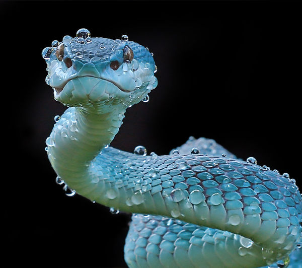 Close-up portrait of wet turquoise snake against black background