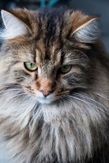 Animal Animal Eye Animal Hair Animal Head  Animal Themes Cat Cat Portrait Close-up Domestic Domestic Animals Domestic Cat Feline Hair Indoors  Long Haired Cat Looking At Camera No People One Animal Pets Portrait Snout Whisker