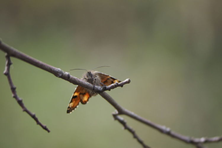 Branch Full Length Perching Insect Animal Themes Close-up Butterfly - Insect Animal Wing Twig Animal Antenna