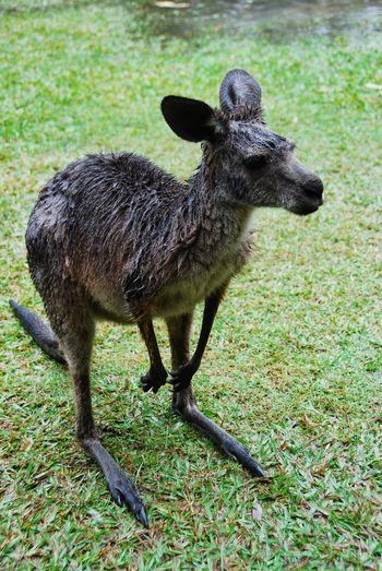 Bad Mood Close-up Domestic Animals Kangaroo Mammal Missing Sun One Animal Rainy Day