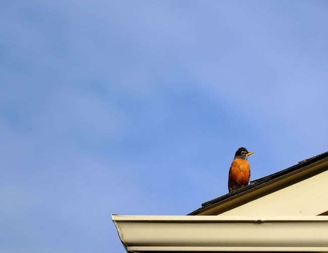 North American red breasted robin profile on roof with blue sky Copy Space Animal Animal Themes Animal Wildlife Animals In The Wild Architecture Bird Blue Building Exterior Built Structure Copy Space Day Low Angle View Nature No People North American One Animal Outdoors Perching Ronin Roof Sky Vertebrate