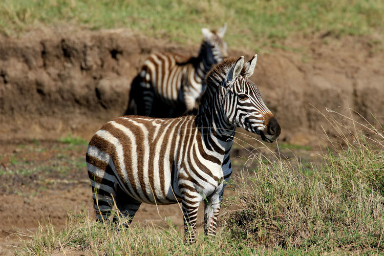MasaiMara Kenia Safari Animal Themes Animal Wildlife Animals In The Wild Beauty In Nature Day Field Full Length Mammal Nature No People Outdoors Safari Animals Striped Zebra