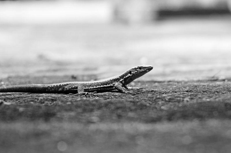 Lizard shot