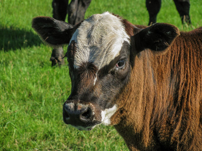 I've got my eye on you. Agriculture Animal Animal Head  Black Angus Calf Canonphotography Cattle Domestic Animals EyeEm Gallery Farm Grass Green Livestock Pasture Summer