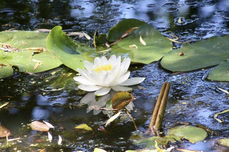 Lotus water lily in lake