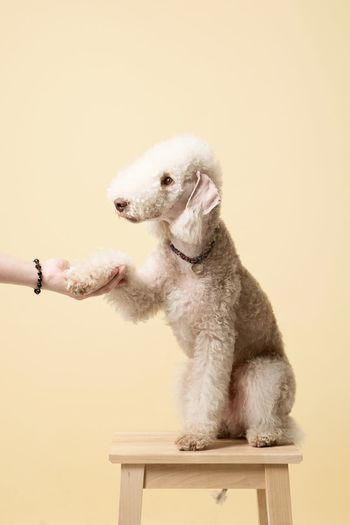 Cropped hand doing handshake with dog against beige background
