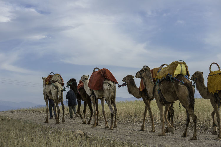 Camels being