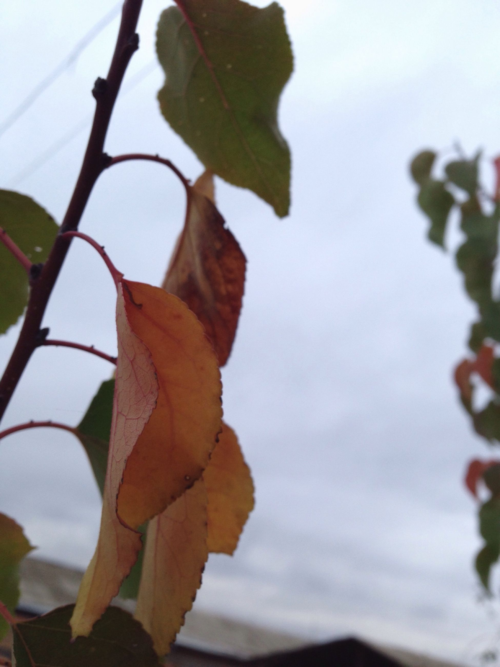 leaf, focus on foreground, close-up, growth, nature, sky, leaf vein, season, fragility, low angle view, autumn, branch, leaves, beauty in nature, plant, change, tree, freshness, day, outdoors
