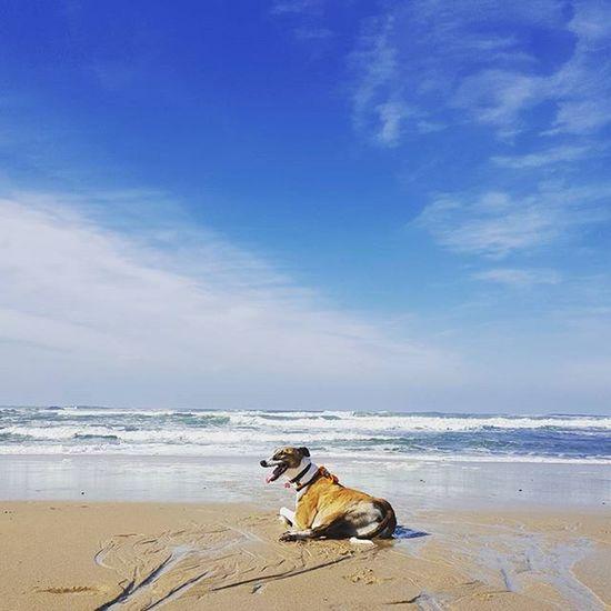 Easy like Sunday morning. Greyhound AdoptaGreyhound Greyhounds greyhoundsofinstagram grayhoundrescue greyhoundlovers dog dogs dogsofinstagram theinstagreyhound theinstasighthound sighthound sighthounds galgo galgos beach sea