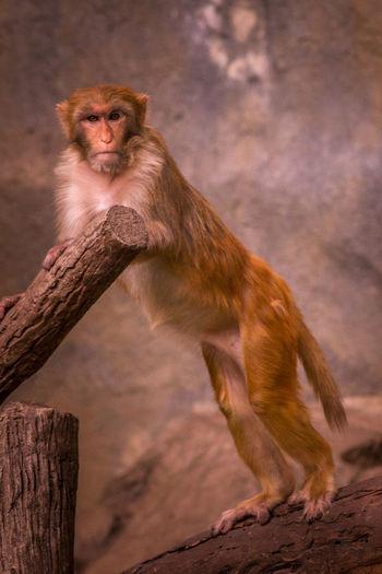 Portrait of monkey standing on wood