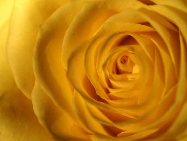 Full Frame Elégance Backgrounds Beauty In Nature Flower Close-up Nature Yellow Flower Yellow Rose Petal Rose - Flower Blossom Macro Rose Roses Macro Photography Beautiful Nature Flower Head Beauty In Nature