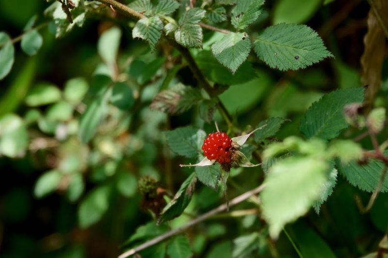 Beauty In Nature Close-up Fragility Freshness Fruit Green Color Leaf Nature Outdoors Plant Red Rubus Hirsutus Wild Strawberries