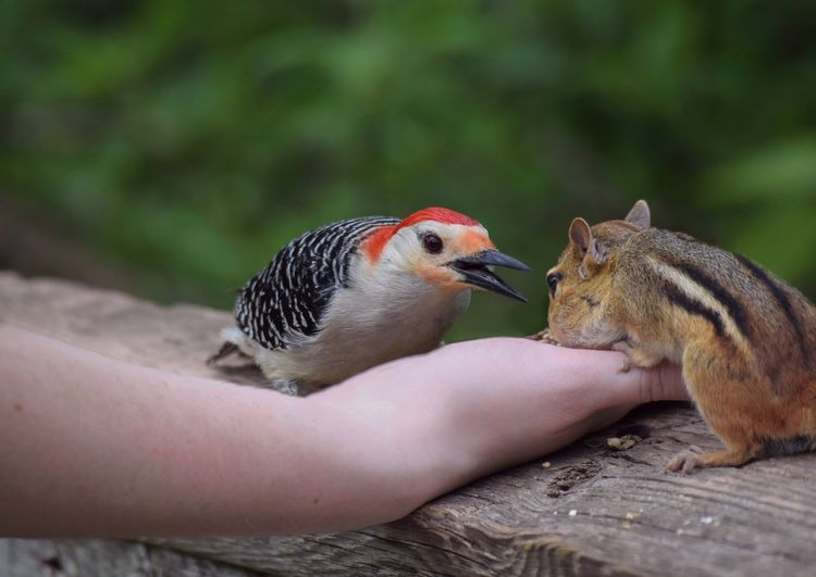 Close-up of hand feeding bird and chipmunk on railing