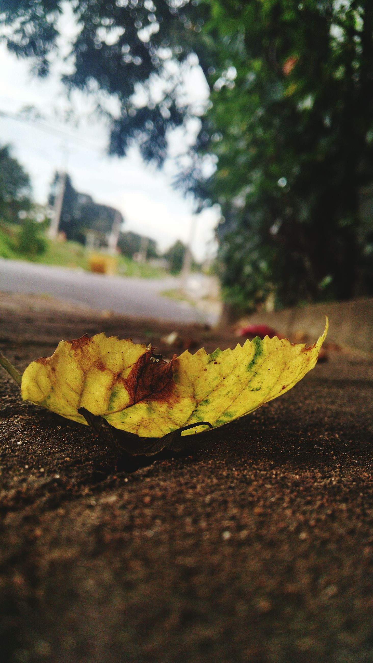 selective focus, leaf, yellow, focus on foreground, surface level, close-up, autumn, street, outdoors, leaves, no people, day, change, nature, fallen, sunlight, road, dry, food, food and drink