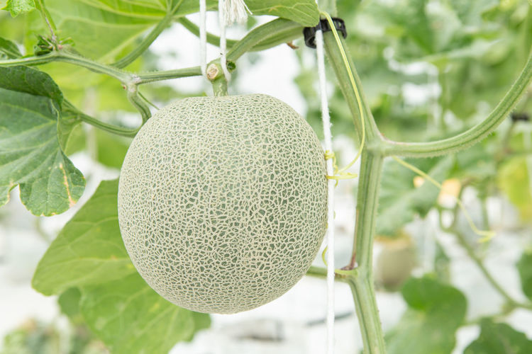Agriculture Farm Green Nature Crow Food Fresh Fruit Garden Greenhouse Leaf Melon Melons, Organic Organic Food Raw Food Sweet Food