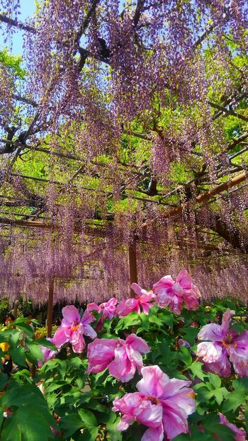Beauty In Nature Flower Healing Powers Of Nature Colors Taking Photos April EyeEm Best Shots Park Sky Wisteria Violet Landscapephotography EyeEm Gallery Eye4photography  Photo Of The Day Purple Contrust Pink Color 2018 Happy Moments