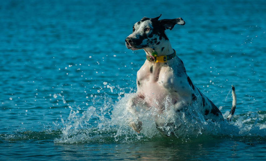 Mammal One Animal Animal Themes Animal Pets Domestic Animals Canine Domestic Water Dog Splashing Motion Vertebrate Day Sea Nature No People Pet Collar Running Mouth Open