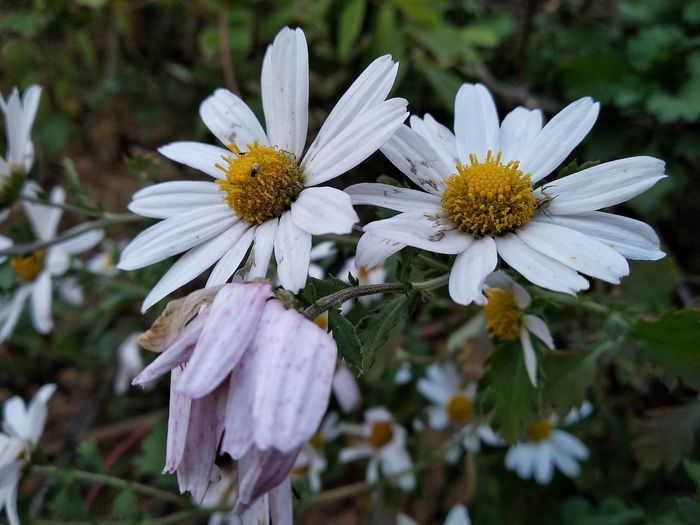Outdoors Nature Beautiful Nature Weekend Activities Flower Head Flower Petal Pollen White Color Close-up Blooming Plant Coneflower