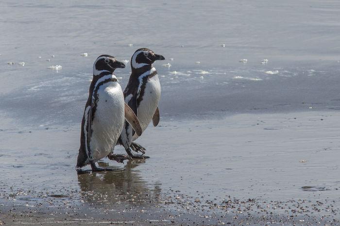 Animal Themes Animal Wildlife Animals In The Wild Chile Nature Outdoors Pinguine Pinguins  Sea Seno Otway Water