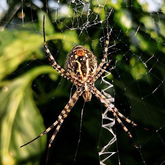 Spider Macrophonegraphy Spider Nature Instanature Petitmon Aranya Argiope Argiope Trifasciata Phone Photography Phoneography Maximum Closeness