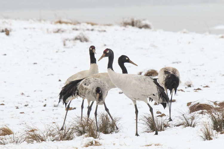 Black necked crane (Grus nigricollis) on Da Shan Bao in Yunnan China Animal Animal Themes Beauty In Nature Bird Black Necked Crane China Close-up Crane Da Shan Bao Day Endangered Species Field Focus On Foreground Grus Nigricollis Landscape Mammal Nature No People Outdoors Selective Focus Snow Winter Young Animal Yunnan
