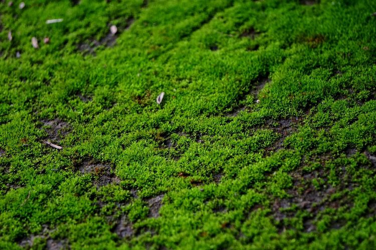 Beauty In Nature Close-up Day Field Grass Green Green Color Growth Nature No People Outdoors Scenics Selective Focus Tilt-shift Tranquility