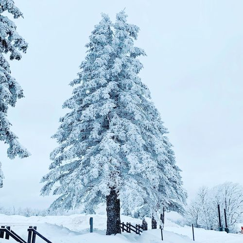 Snow covered pine tree in forest against sky