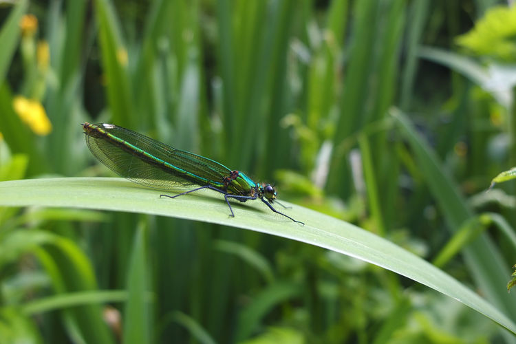 Canals And Waterways Close Up Damselfly Early Summer English Countryside Kennet And Avon Canal Metallic Green Blue Damselfly One Insect Plant Spring Springtime Sunbathing Sunny