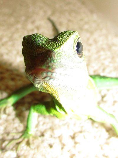 rex is being nosey.... Reptiles Lizard Love Mylizard Dragon