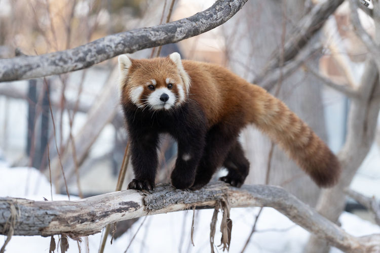 Tree Animal Animal Wildlife Animal Themes Animals In The Wild Branch One Animal Red Panda Mammal Focus On Foreground Vertebrate Plant Panda - Animal Nature Day No People Winter Cold Temperature Looking Zoo Outdoors Herbivorous