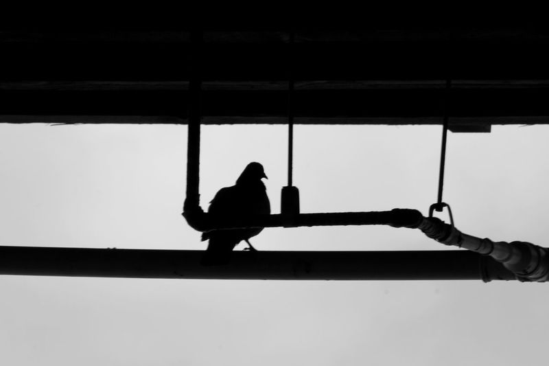 Low angle view of silhouette pigeon perching on pipe
