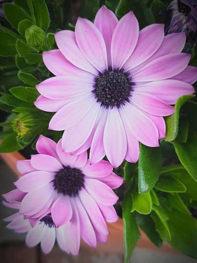 Flower Petal Fragility Flower Head Plant Nature Pink Color Beauty In Nature Purple Pollen Growth Freshness Day Close-up No People Osteospermum Blooming Outdoors Eastern Purple Coneflower Blume Natur Sarah7790