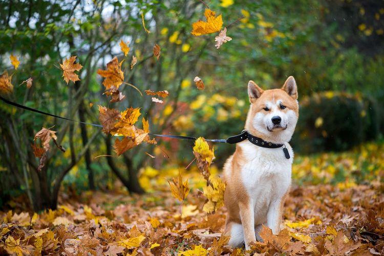 Beautiful akita-inu dog in autumn leaves park