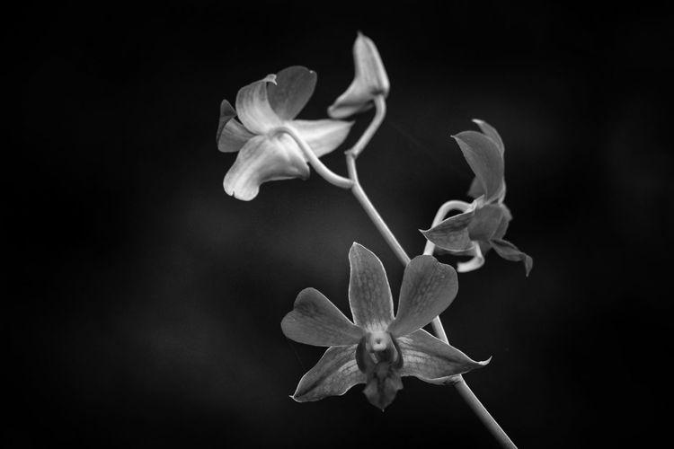 Blackandwhite Black And White Flower Head EyeEm Best Shots EyeEm Selects EyeEm Gallery EyeEm Nature_collection Nature Flower Head Black Background Flower Close-up Orchid Blooming Petal In Bloom