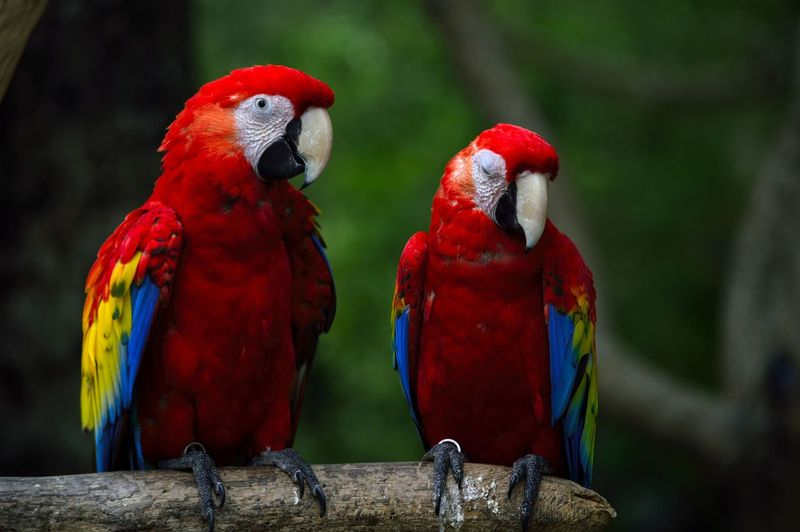 Close-up of scarlet macaws perching on branch