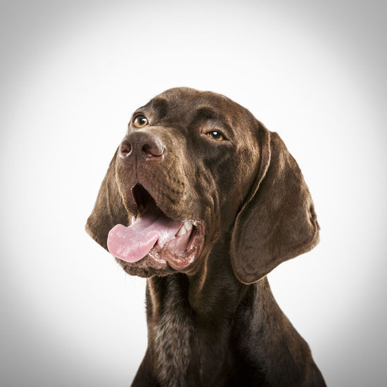Animal Body Part Animal Head  Animal Themes Braco Brown Brown Hair Canine Dog Dog Ears Dog Head Dog Head Shot Dog Heads Domestic Expressive Dog Fa German Dog German Shorthaired Pointer Mammal Mouth Open One Animal Pedigreed Pointer Dog Portrait Purebred Purebred Dog Tongue