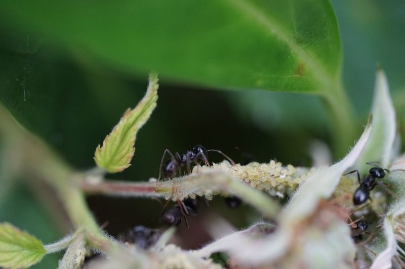 Blattlaus Ameise Ant Close-up Selective Focus Animal Wildlife Plant Invertebrate Animals In The Wild Green Color Insect