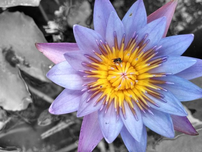 Beauty In Nature Blackandwhite Blackandwhite Photography Close-up Colorsplash Flower Flower Head Freshness Insect Lotus Lotus Water Lily Nature Outdoors Plant Purple Purple Flower Purple Lotus Yellow