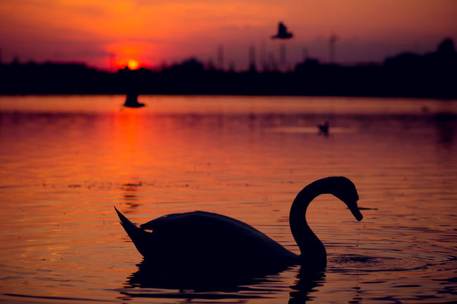 Animal Themes Animal Wildlife Animals In The Wild Bird Lake Lake View Lakeview Nature No People Outdoors Reflection Sillouette Sunset Sunset Silhouettes Sunset_collection Swan Swans Swans Of Eyeem Swans On The Lake Swans Sillouette Swans Swimming Swimming Water Market Bestsellers 2016
