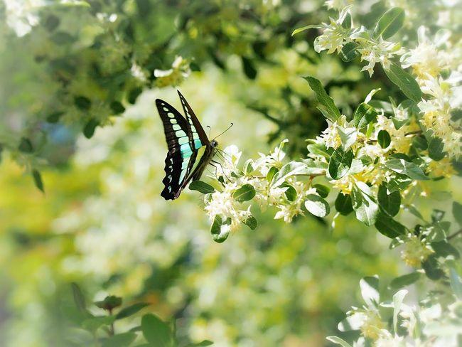 こんにちは5月 日だまり アオスジアゲハ Butterfly Collection Insect Collection Butterfly - Insect 蝶々 アゲハ蝶 My Point Of View EyeEm Nature Lover Eyemphotography EyeEm Gallery EyeEm Best Shots Beauty In Nature Taking Photos EyeEm Best Shots - Nature Springtime Butterfly Flower Collection