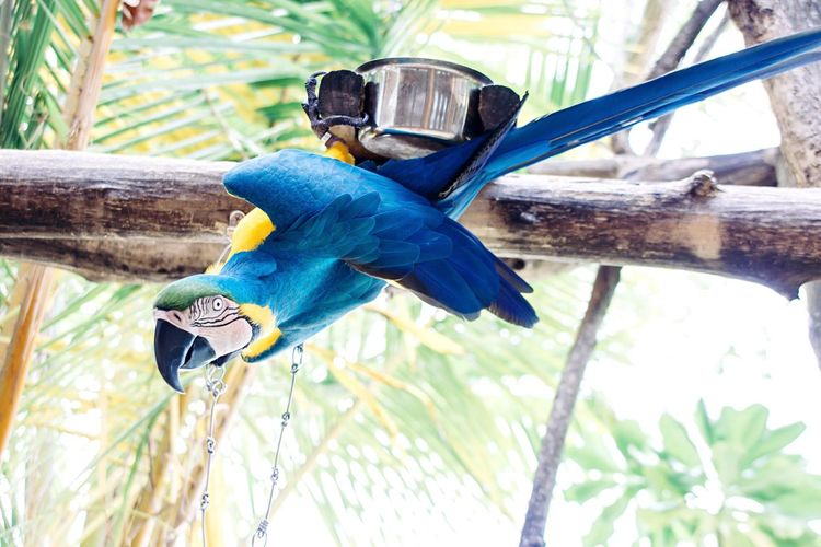 Bird Blue Animal Themes Animals In The Wild Parrot Perching Macaw Animal Wildlife Nature Focus On Foreground One Animal Gold And Blue Macaw Outdoors Day Beauty In Nature No People Branch Maayafushi Maldives Resort EyeEm Nature Lover EyeEm Best Shots - Nature EyeEm Best Shots Beauty In Nature Colors