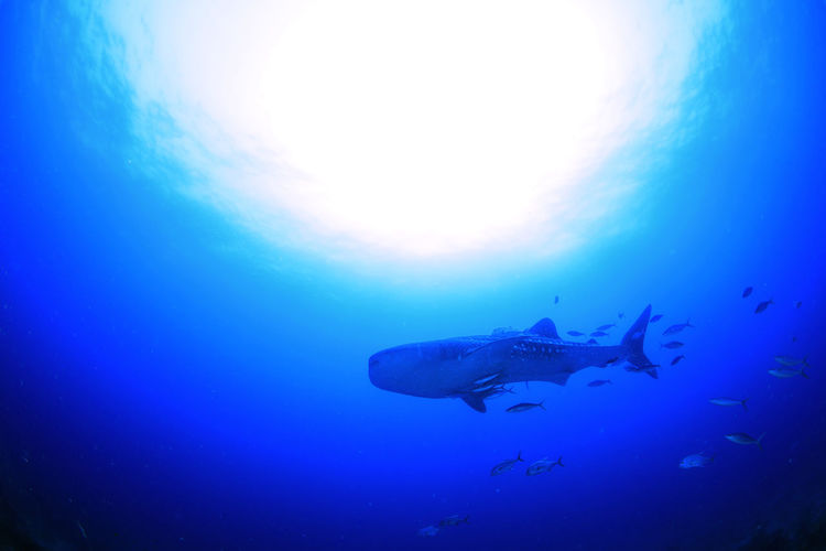 Underwater underwater photography UnderSea Nature Sea Life Whale Shark Outdoors Sea Shark