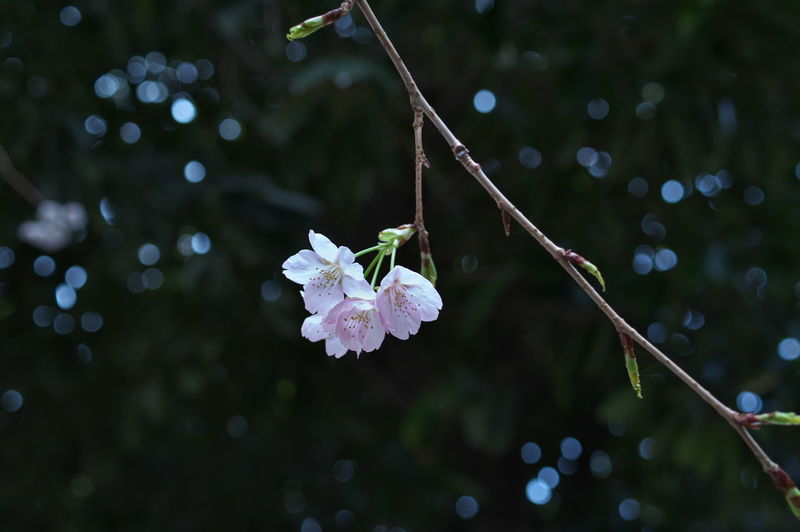 Plant Flowering Plant Flower Fragility Growth Vulnerability  Freshness Beauty In Nature Close-up Focus On Foreground No People Nature Petal Inflorescence Twig Flower Head Tree Blossom Selective Focus Day Springtime Outdoors Pollen Plum Blossom Cherry Blossom