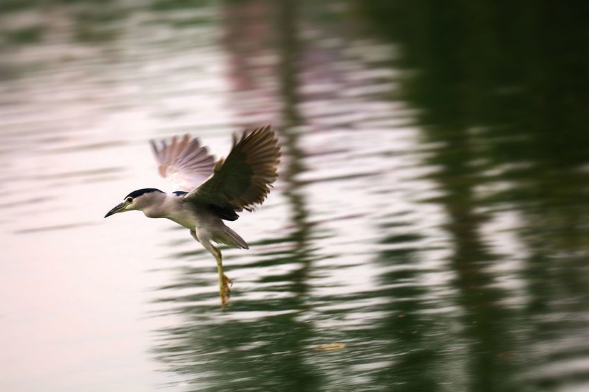 Flying Bird Vertebrate Animal Themes Animal Spread Wings Animals In The Wild Animal Wildlife One Animal Water Nature Lake No People Day Mid-air Waterfront Reflection Beauty In Nature Focus On Foreground Outdoors