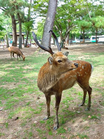 looking for a way back home Sikadeer Japan Animal Themes Tree Animals In The Wild One Animal Mammal Day No People Nature Outdoors