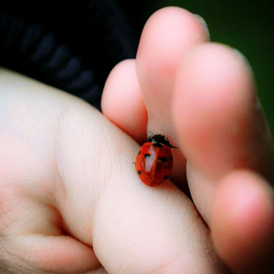 Ladybug Ladybugs Ladybug Collection Ladybugmacro In Hands Children Hands Macro Insects  Animal Photography Colour Of Life