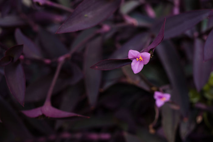 Tradescantia Pallida Beauty In Nature Blooming Close-up Day Flower Flower Head Fragility Freshness Growth Liguria Nature No People Outdoors Petal Pink Color Plant Purple Spiderwort Wandering Jew