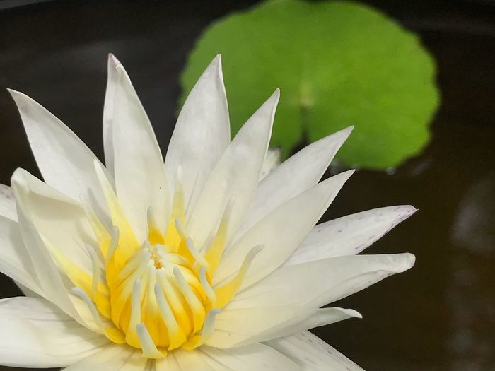 Lotus is blooming Blooming Lotus Flower Flowering Plant Beauty In Nature Vulnerability  Fragility Freshness Flower Head Plant Close-up Yellow White Color Nature Water