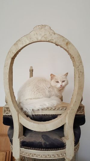 Egypt égypte White Cat White Background BYOPaper! BYOPaper! Pet Portraits