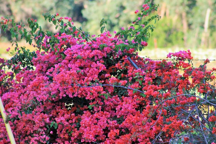 Flowers Beautiful Beautiful Nature Flowers Sweet Smelling! Freshness Of Flowers Pink It Is! Day No People Outdoors